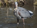 Great blue heron fish in bill