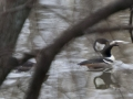 Hooded merganser, fish