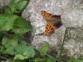 Eastern Comma, May 2012