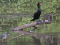 Puffed up Green Heron + Cormorant