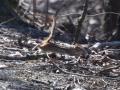 airborne chipmunk