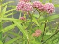 Asclepia incarnate, Swamp milkweed