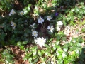 Sanguinaria-canadensis-Bloodroot-near-the-Pond.-1