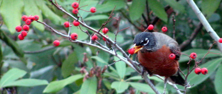 American Robin eating fruit of a Winter King hawthorn in the formal garden. Photo Credit: David Lucal