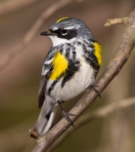 Yellow-rumped Warbler, frequently seen, among others, on Friends of Hall's Pond spring birdwalks. Photo by Shawn Carey.
