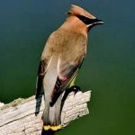 Cedar Waxwing Photo Credit: Shawn P. Carey (Migration Productions)