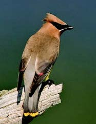 Cedar Waxwing  Photo Credit: Shawn Carey