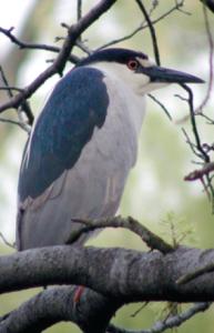 Night-Heron at HP  Photo Credit: Bruce Wolf