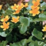 Caltha palustris (kingcup or marsh marigold)