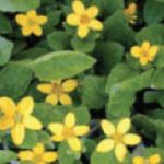 Chrysogonum virginianum (goldenstar or green-and gold)