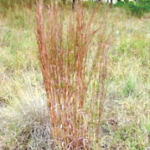 Photo Credit: Schizchyrium scoparium, Little Bluestem