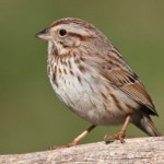 Song Sparrow Photo Credit: Shawn Carey