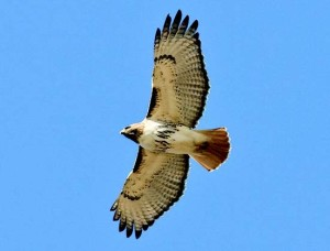 Red-tailed Hawlk  Photo Credit: Shawn Carey