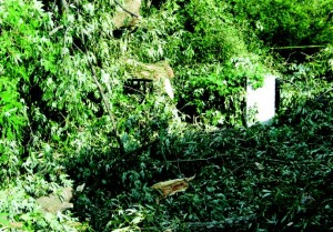 In the early afternoon of August 26, 2008 the magnificent willow which has graced the entrance to Hall's Pond for many years split in half and came crashing to the ground during a moderate wind event.