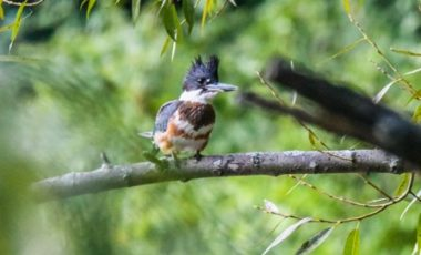 Belted Kingfisher at the Pond, September 25. Photo Credit: Nate Dow
